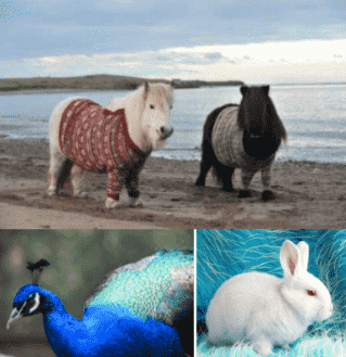 憨态矮脚马,孤傲蓝孔雀,萌萌小白兔…… 疯狂动物城热度未消 钱隆图片